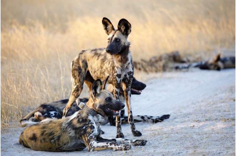 The African Wild Dog: An Ambassador for the World's Largest Terrestrial Conservation Area