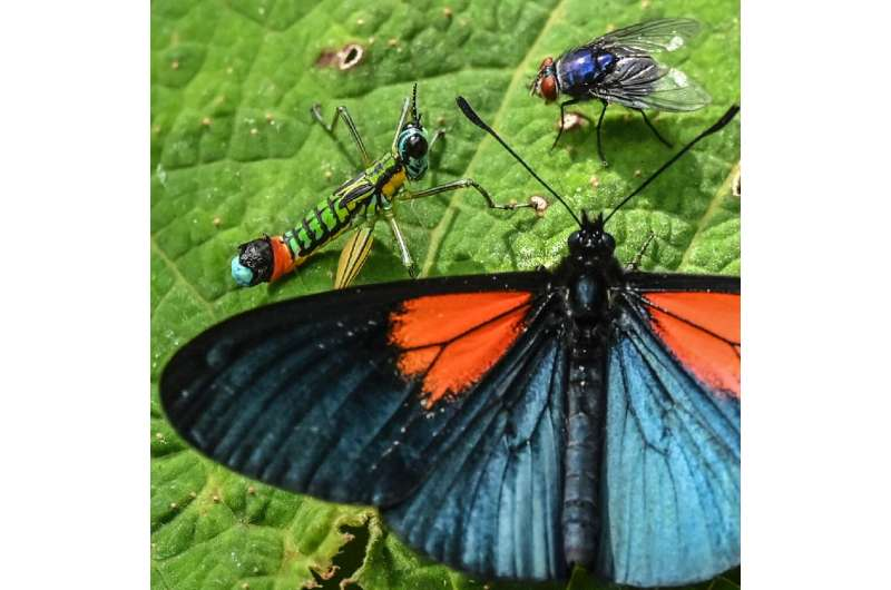 The Altinote ozoneme have velvety black wings with red patches at the base of the forewings, and are mostly found in cloudforest