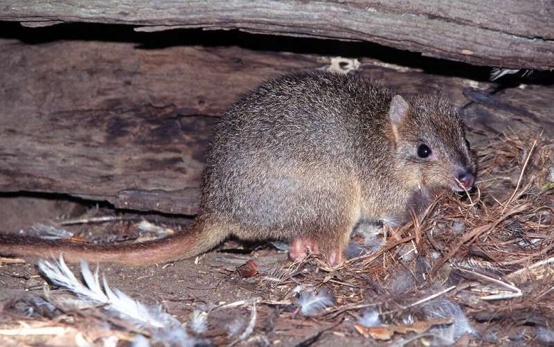 The burrowing bettong now exists in just 5 percent of its indigenous range