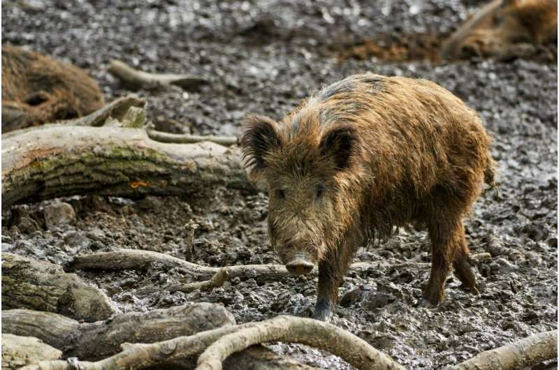 Climate impact of over 1 million wild boars