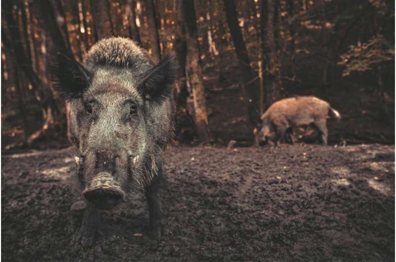 The climate impact of wild pigs greater than a million cars