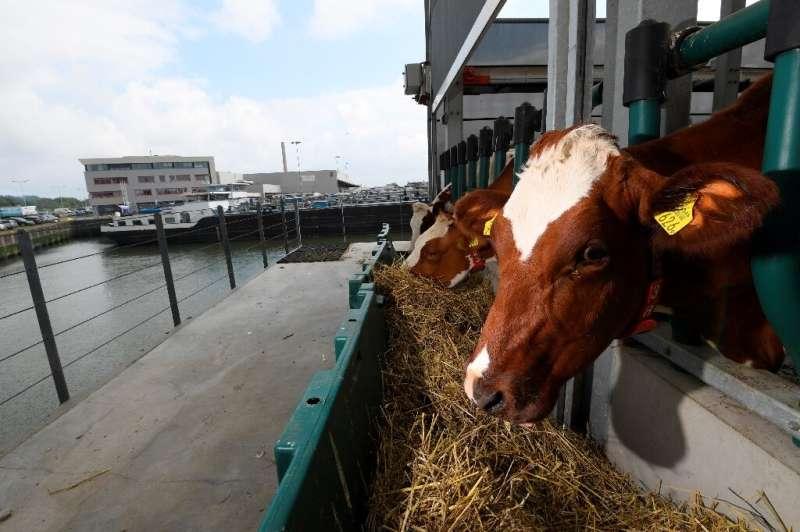 Las vacas contrastan con los enormes barcos y el humo de las refinerías del puerto marítimo más grande de Europa.