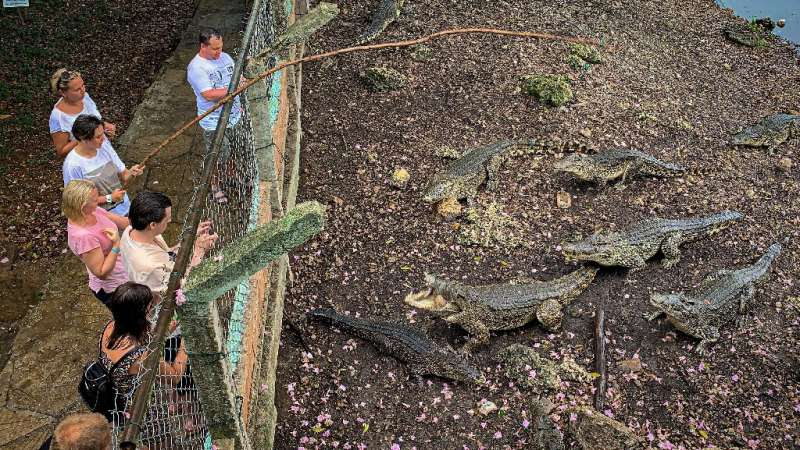 The Cuban crocodile lives in freshwater and is smaller and more aggressive than its American counterpart