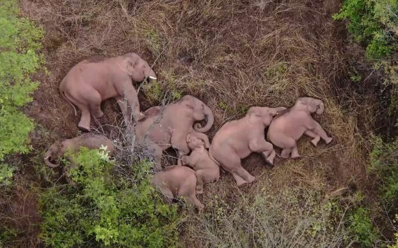 The elephants grab 40 winks after their epic jungle journey
