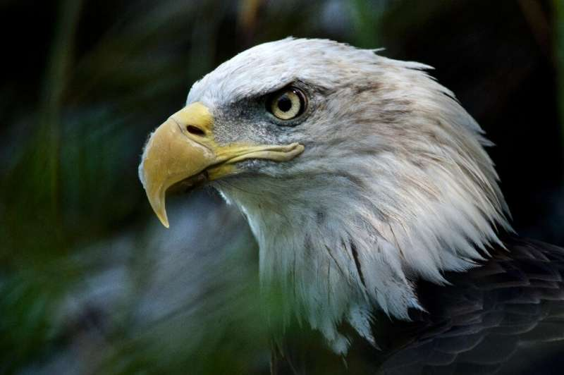 The Endangered Species Act is credited with saving iconic species like the bald eagle