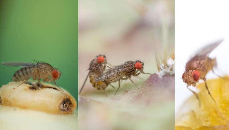 The evolution of vinegar flies is based on the variation of male sex pheromones