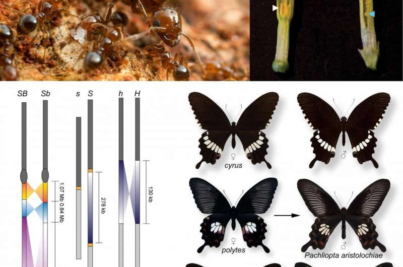 The evolutionary fates of supergenes unmasked