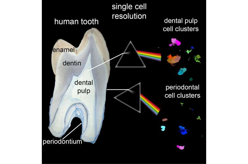 The first comprehensive single-cell atlas of human teeth