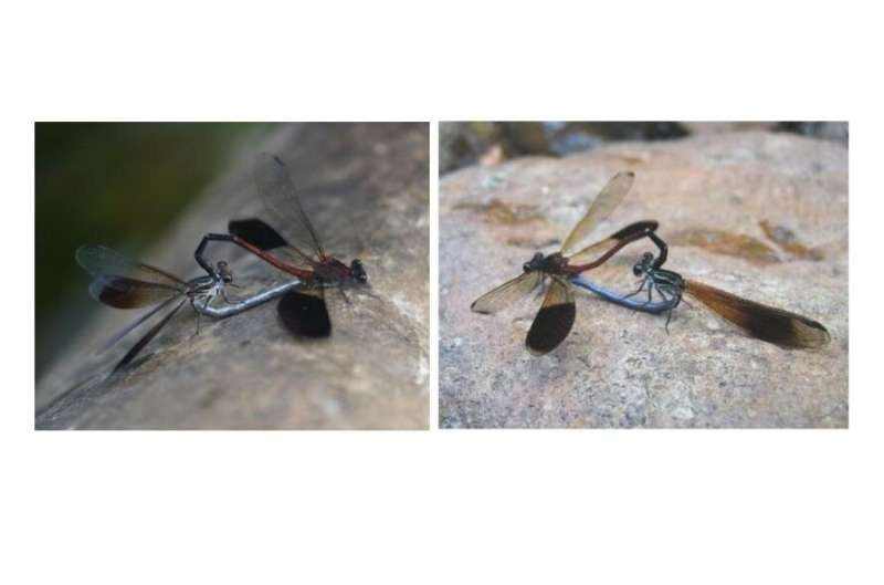 The genetic structures of closely related dragonflies in Yaeyama and Taiwan islands