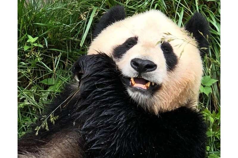 The giant panda's mystery revealed