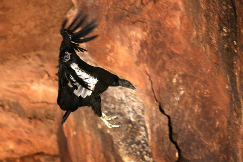 The Green status suggests the California condor would have gone extinct in the wild without conservation