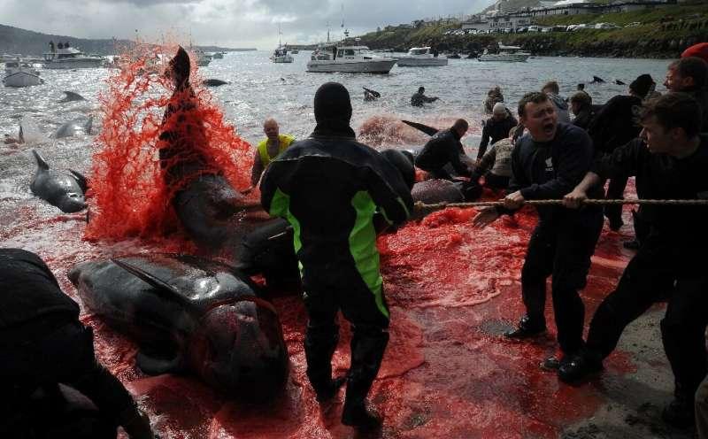 The 'grind' hunt in Torshavn, Faroe Islands, on May 29, 2019
