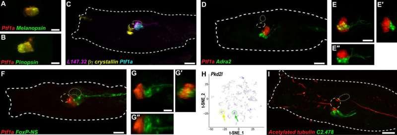 The hypothalamus predates the origin of vertebrates