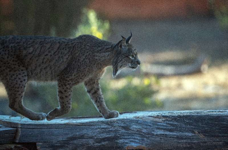 The Iberian lynx is distinguished by a white-and-black beard and black ear tufts