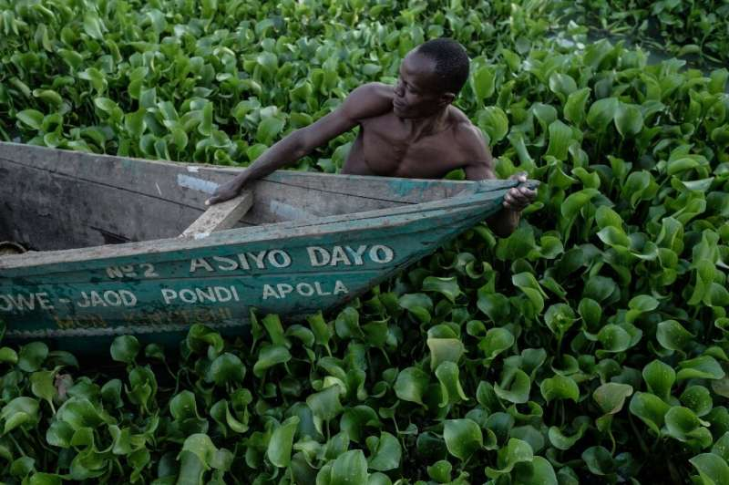 The invasive water hyacinth can block access to waterways