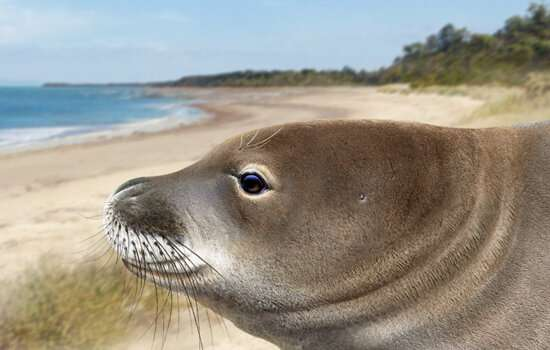 The most endangered seals in the world were once widespread in Australia, scientists find