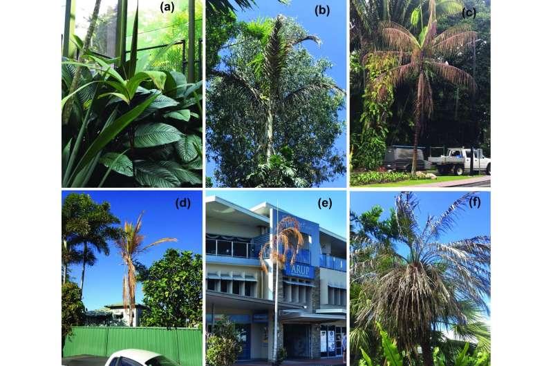 The new species of bacteria killing palms in Australia