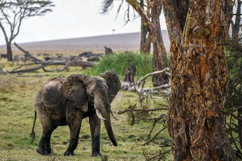 The numbers of African savanna elephants have plunged by at least 60 percent during the last half-century, according to the Inte