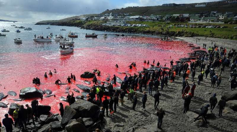 The people of Torshavn have long defended the Faroe Islands summer tradition of hunting pilot whales and dolphins