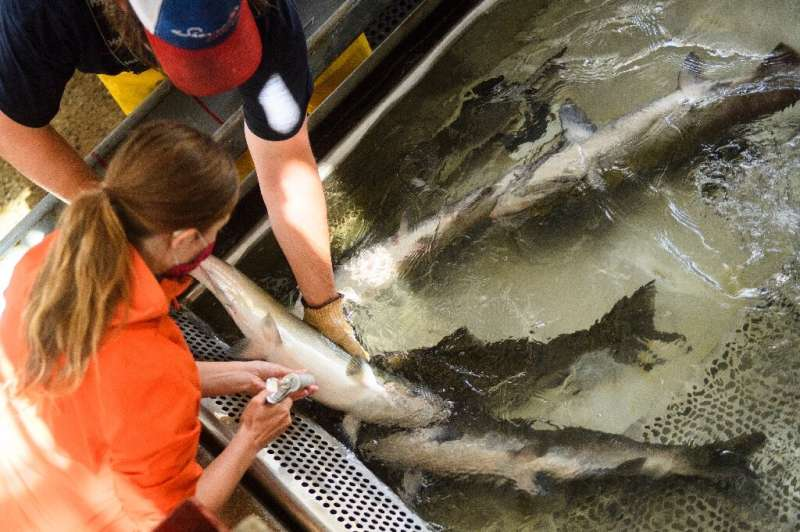 The powerful fish—who can exceed 50 lb in weight—will be tranquilized for tagging and receive vitamin injections