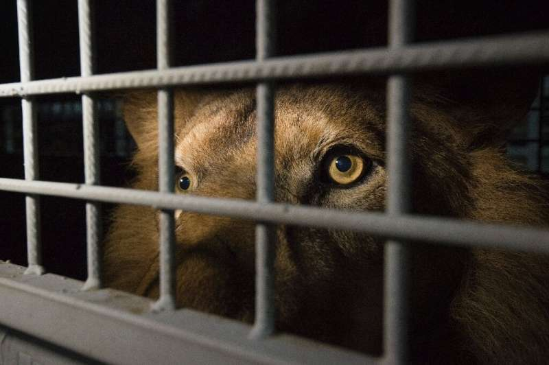 The practice of hunting lions raised in captivity has long been controversial in South Africa