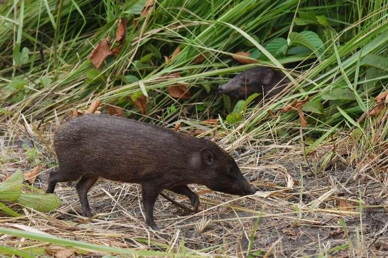 El cerdo pigmeo, que tiene el nombre científico de porcula salvania, vive en pastizales altos y húmedos.