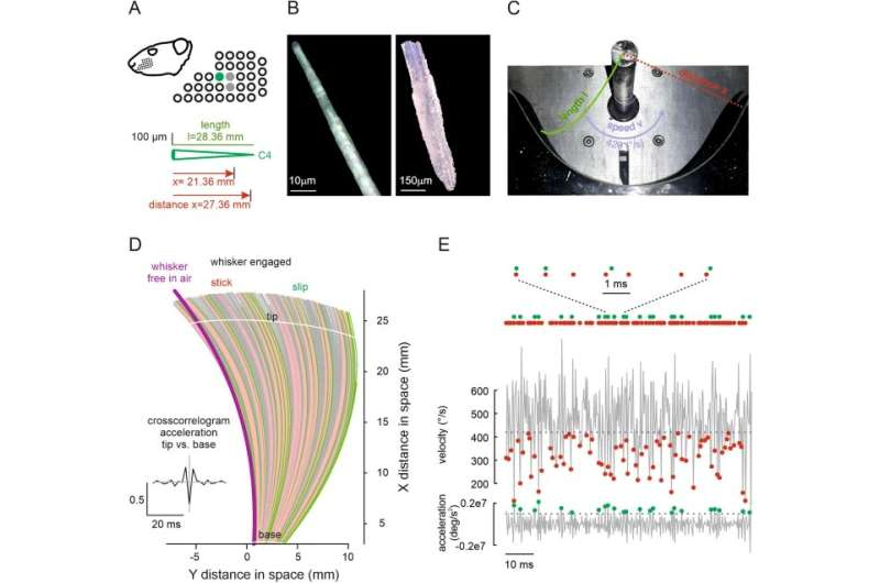 The rat's whiskers: Multidisciplinary research reveals how we sense texture