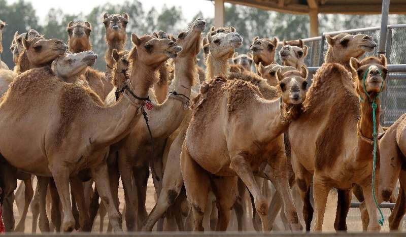 The Reproductive Biotechnology Center turns out around 20 camel calves per year