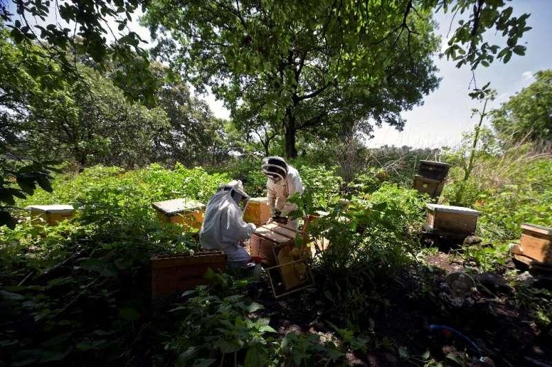 Las abejas recuperadas son transportadas a las montañas fuera del área urbana de la Ciudad de México.