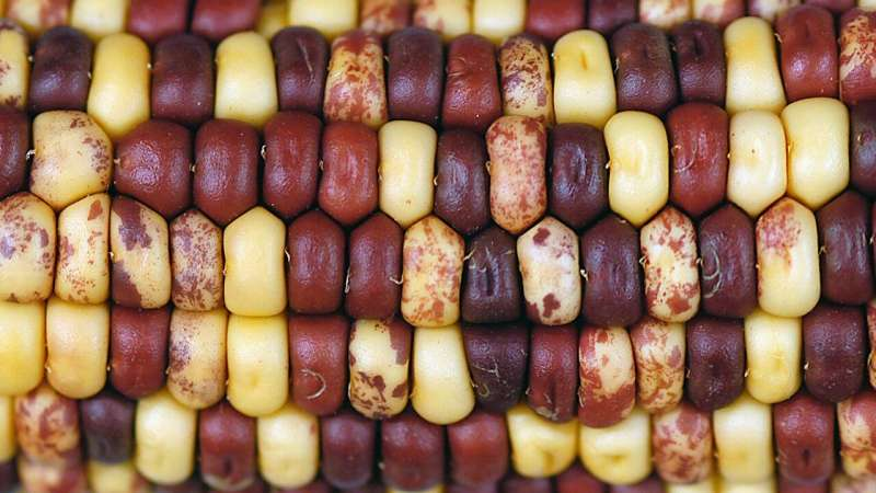 The secret history of corn is revealed in its genome
