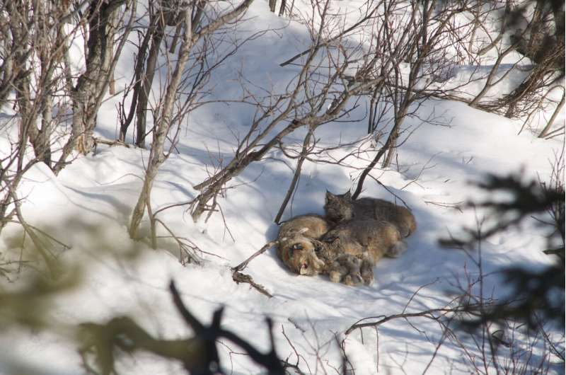The secret lives of Canada lynx