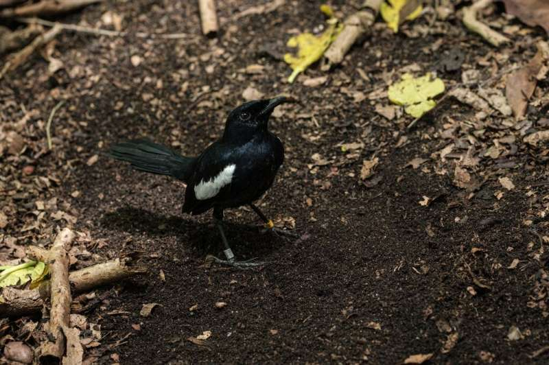 The Seychelles is home to about 400 magpie robins