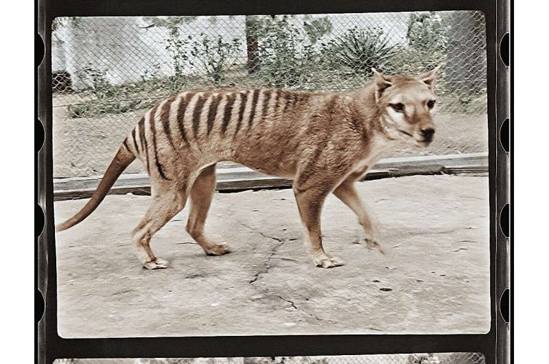 The Tasmanian tiger roamed in Australia and on the island of New Guinea before dying out about 85 years ago