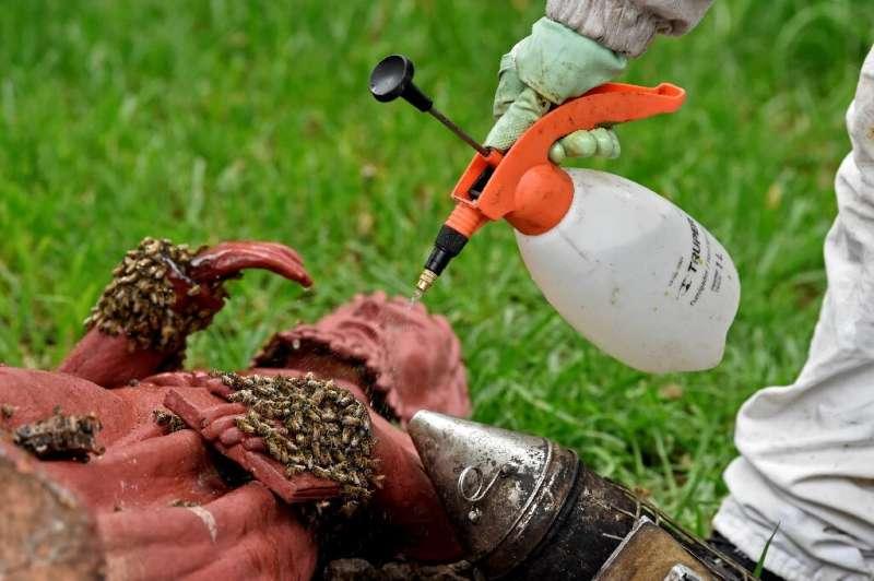 El equipo fuma abejas para neutralizar las feromonas y les rocía agua para que sea más difícil volar