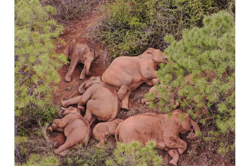 The wild elephant herd has traveled over 500 kilometres from its home nature reserve in one of the longest such migrations of it