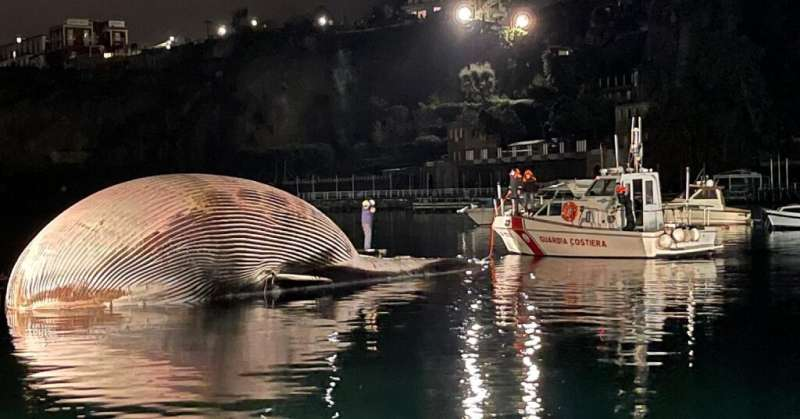 The carcass of a huge dead whale is towed by Italy's coast guard to the port of Naples to determine the  cause of death