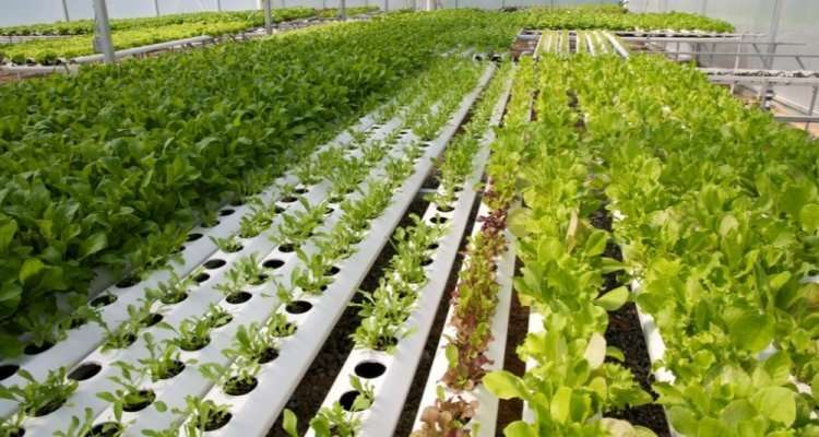 The DNA of lettuce unravelled: in 6000 years from weed to beloved vegetable