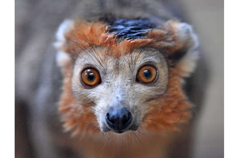 The endangered Crowned Lemur. So far, efforts to protect and restore nature on a global scale have failed spectacularly