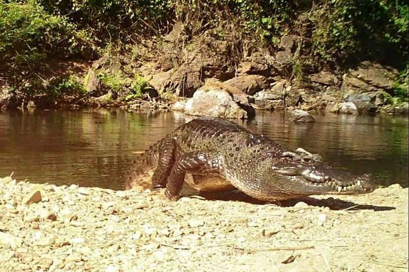 The freshwater reptile was once ubiquitous across Southeast Asia but is currently listed as critically endangered