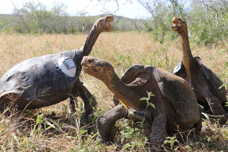 The International Union for Conservation of Nature (IUCN) lists the Chelonoidis chatamensis, or San Cristobal Giant Tortoise, as