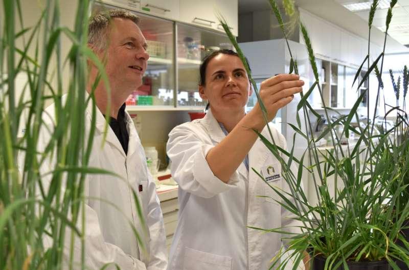 The keys to a major boost for hybrid wheat breeding