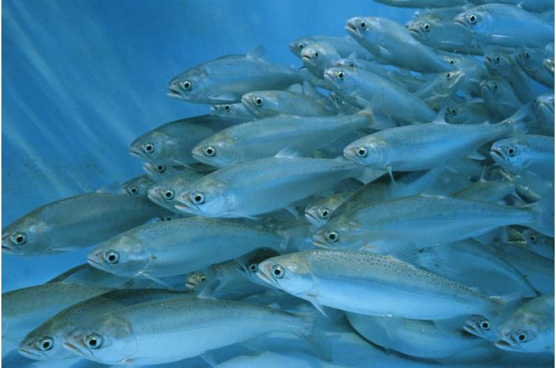 The secret lives of farmed fish