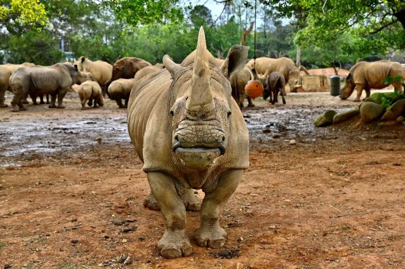 The southern white rhino—found in the wild across southern Africa—currently number less than 19,000