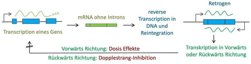 The underestimated mutation potential of retrogenes