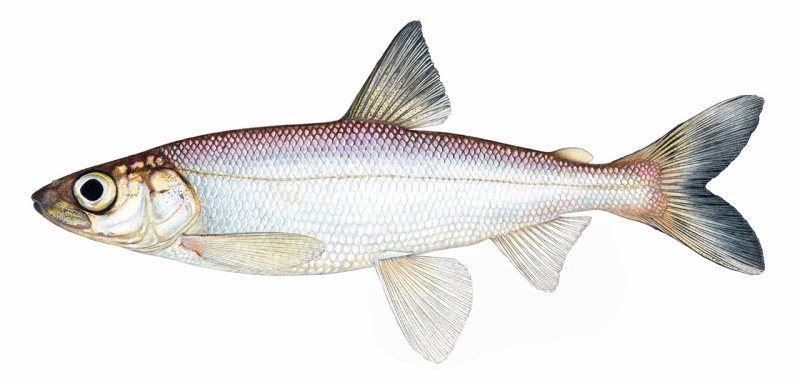 This Great Lakes fish may have evolved to see like its ocean ancestors did