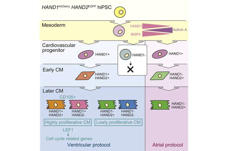 Three genes determine heart cell growth