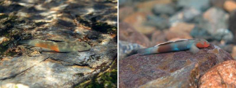 Three new species of freshwater goby fish found in Japan and the Philippines