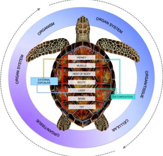 Three out of four turtle populations risk cadmium contamination