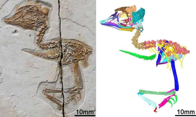 Tiny ancient bird from China shares skull features with Tyrannosaurus rex
