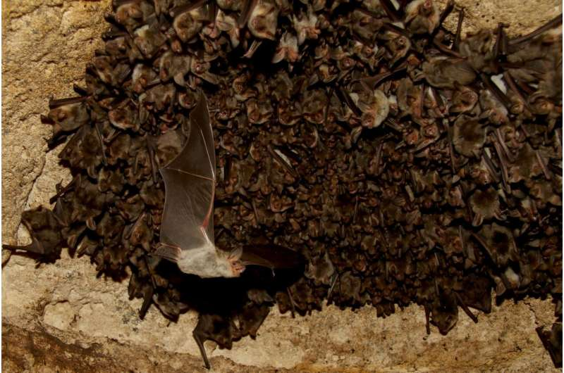 Tiny computers reveal how wild bats hunt so efficiently